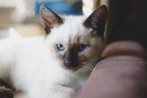 Chat thaïlandais