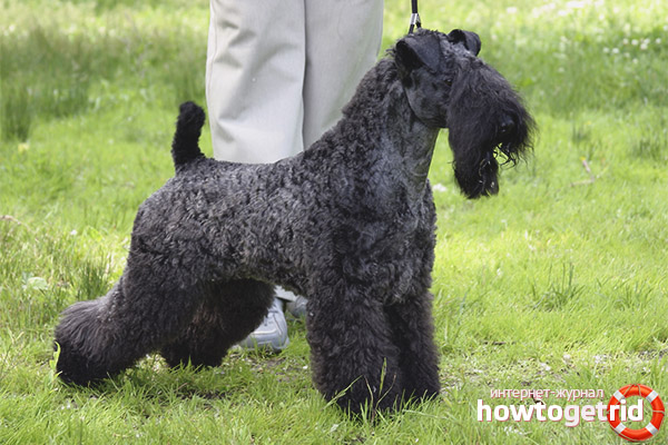 Breed dog kerry blue terrier