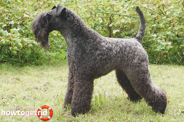Caring for Blue Terrier