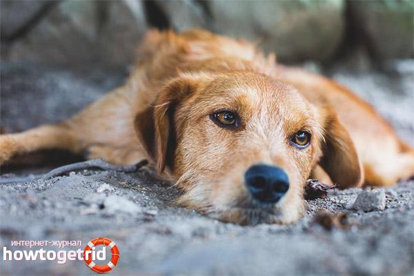 Tratarea depresiei la câini