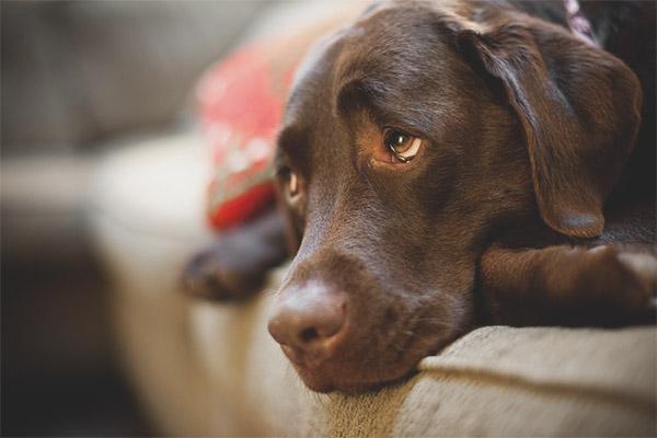Depresie la câini