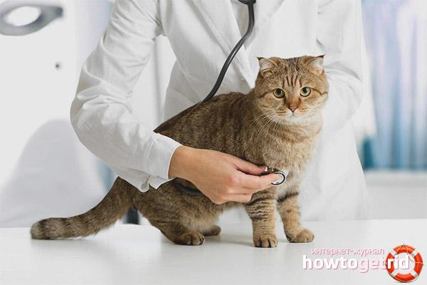 Comment guérir une fausse grossesse chez le chat