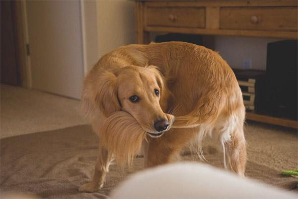 Anjing itu berjalan selepas ekor: mengapa dan apa maksudnya?