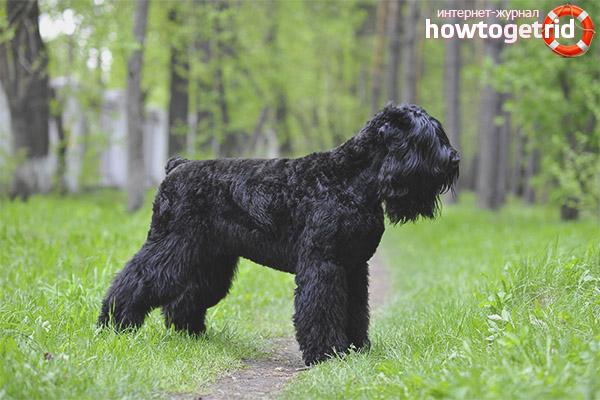 Russian Black Terrier breed standard