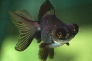 Télescope de poisson d'aquarium