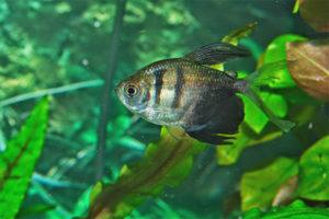 Aquarium de poisson terniya
