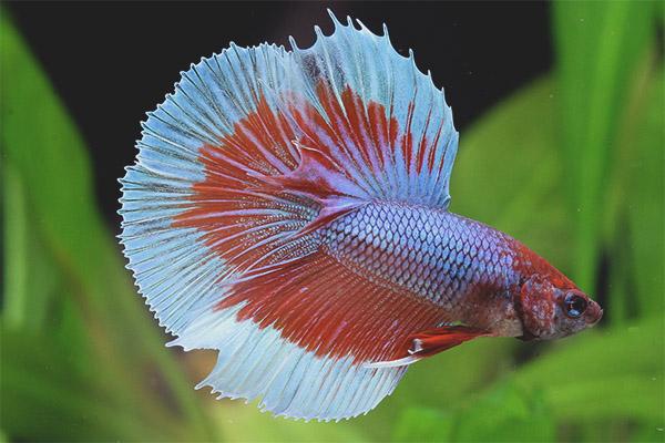 1e10be0de9afaf Акваріумні рибки півники - догляд та утримання