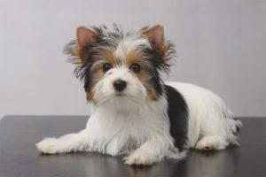Biver-Yorkshire Terrier