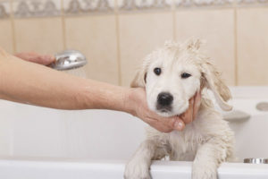Is it possible to wash a dog after vaccination?