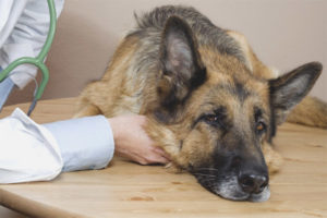 Food poisoning in dogs
