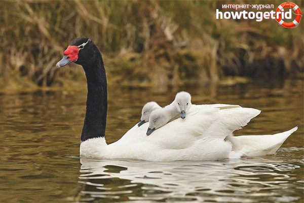 Breeding black-necked swan
