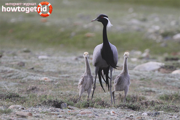 Reproduction of crane demoiselles