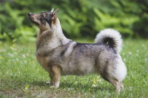 Swedish Walhund