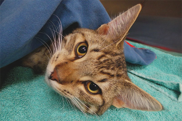 How much a cat moves away from anesthesia after castration
