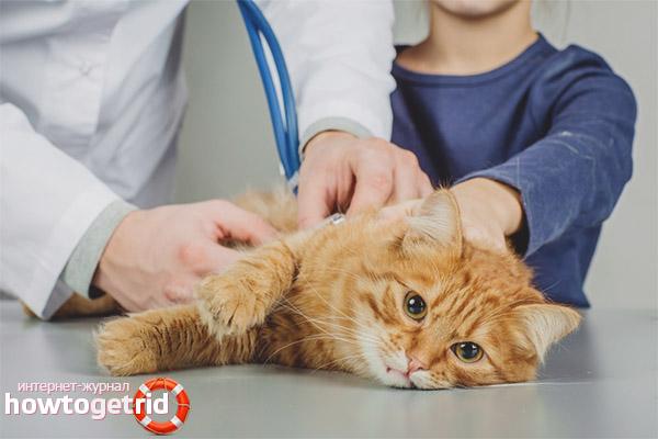 Πώς να ετοιμάσετε μια γάτα για αποστείρωση