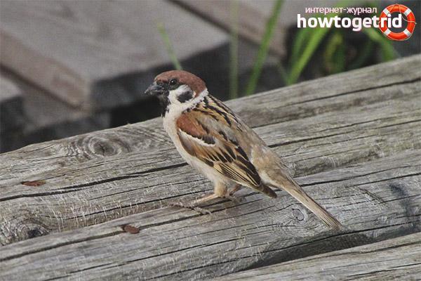 Sparrow lifestyle