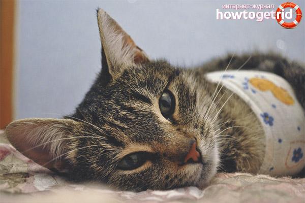Φροντίδα των ραφών γάτας μετά την αποστείρωση