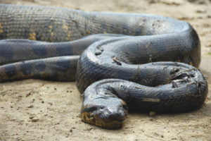 Anaconda συνηθισμένο