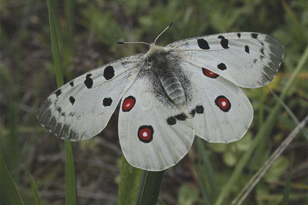 Kết quả hình ảnh cho bướm Apollos tuyết