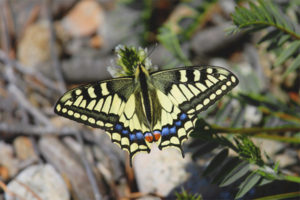 Butterfly machaon