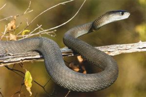 Μαύρο mamba