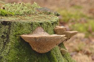 Oak sponge