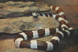 Βασιλικό φίδι