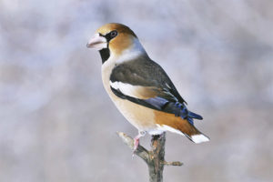Common Hawfinch