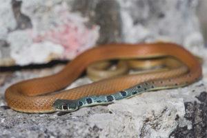 Φίδι ελιάς