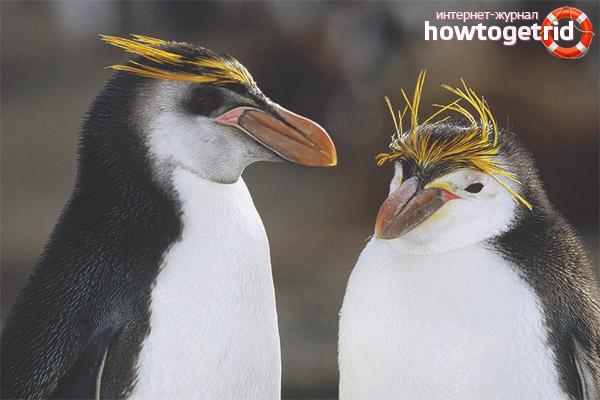 Breeding crested penguins