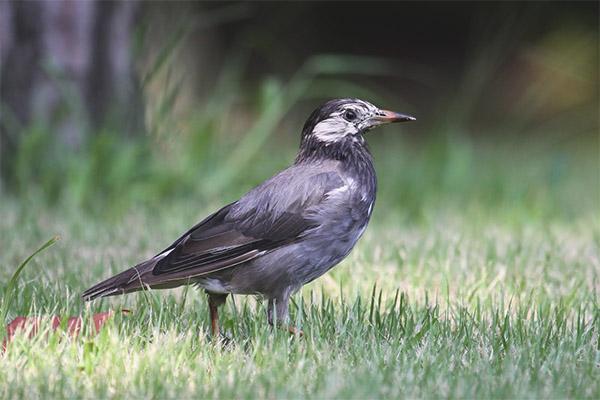 Gray starling