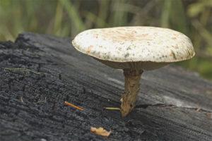 Sleeper mushroom