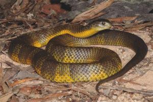 Τίγρης φίδι
