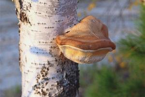 Birch tinder