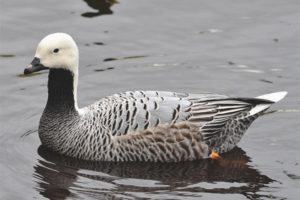 Goose-whitish