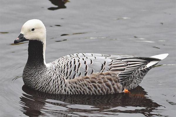 Goose-whitish