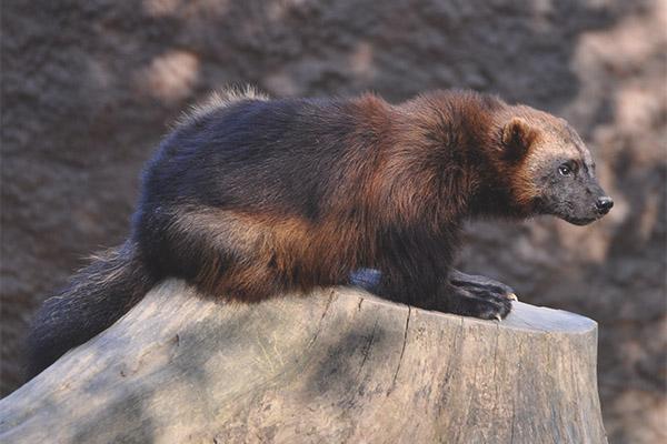 Wolverine bear