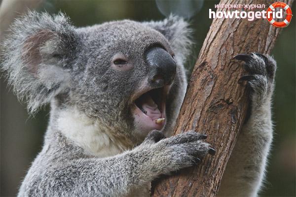 Koala habitats