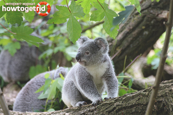 Koala lifestyle