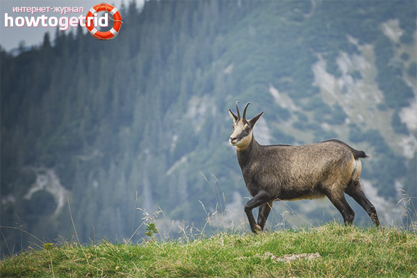 Reproduction of chamois