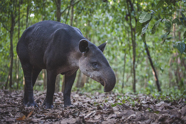 Tapir - description, habitat, lifestyle