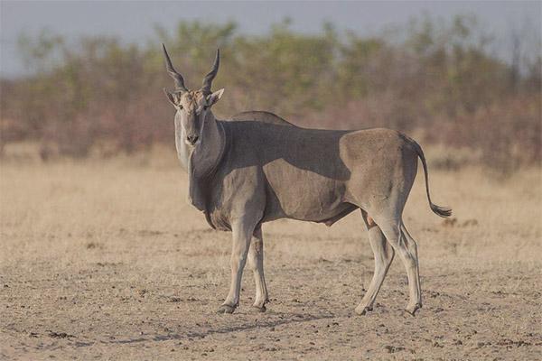 Antilope d'éland