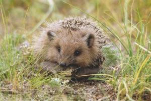 Daursky hedgehog