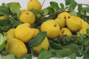 How to use the fruit of the Japanese quince