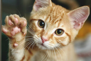 How to teach a cat or a cat to give a paw