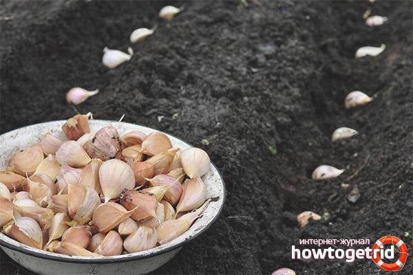 Comment traiter l'ail avant de planter avant l'hiver