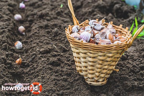 Comment traiter le sol avant de planter de l'ail en hiver