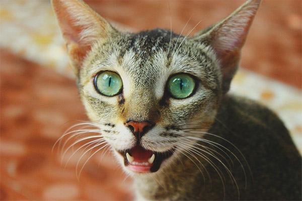 Kucing Amat Bernafas Mengapa Dan Apa Yang Perlu Dilakukan