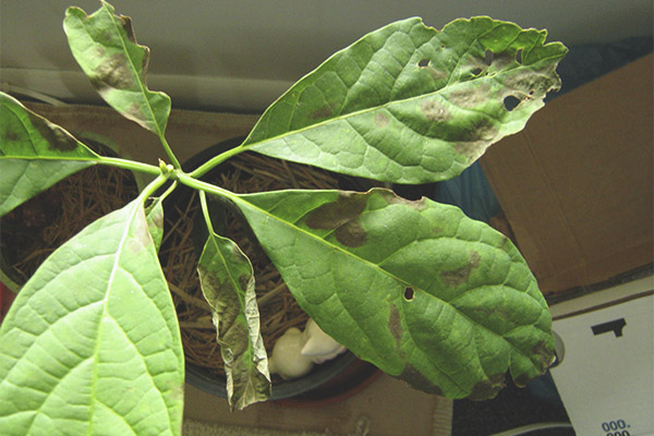 Γιατί τα αβοκάντο γίνονται μαύρα και ξηρά φύλλα
