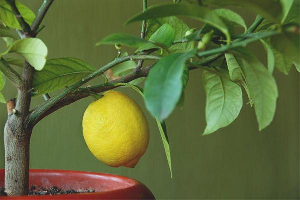 Feuilles de citron tombent